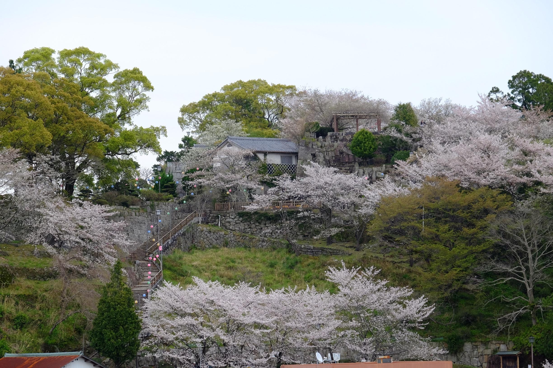 新宮城跡の桜のライトアップ期間